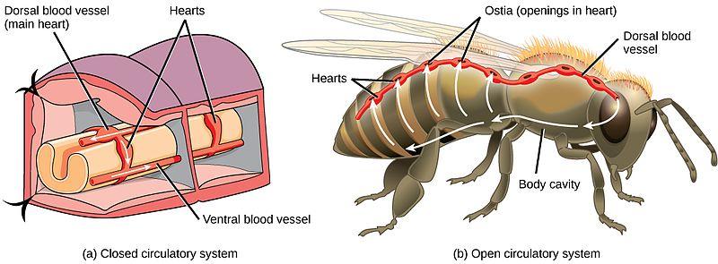 circulatory system in an arthropod