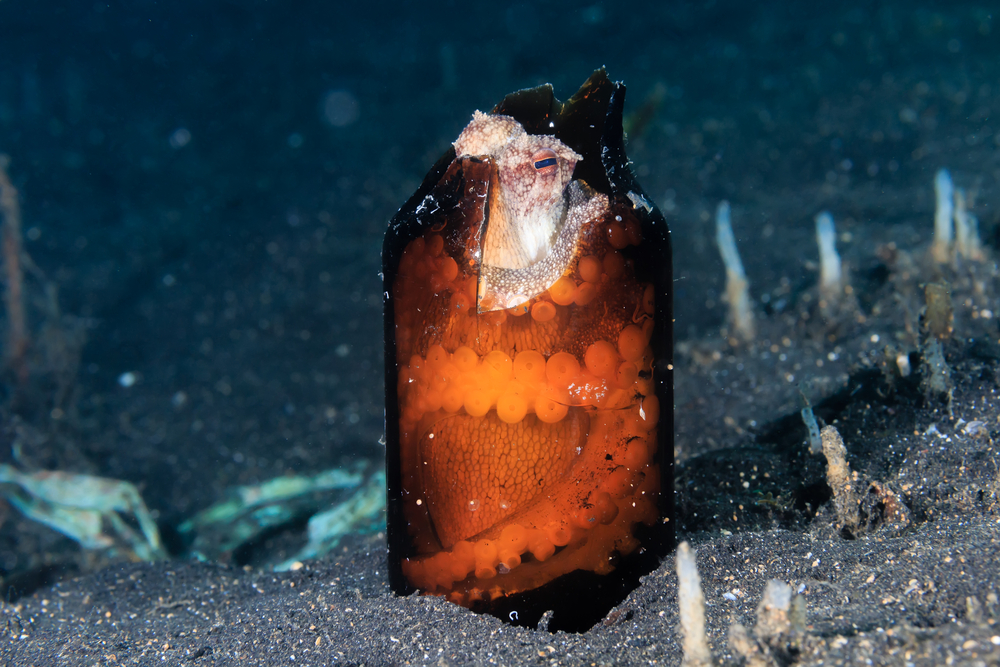 A Coconut Octopus hides inside a broken glass bottle on a black sandy seabed(Richard Whitcombe)s
