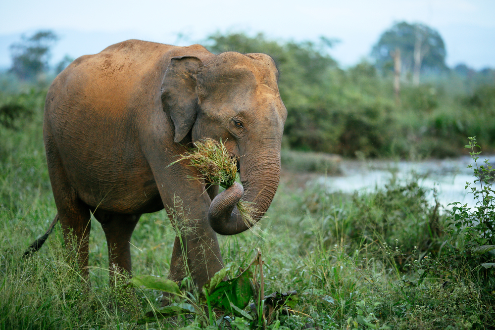 A male elephant without tusk is walking through the Udawalawe National Park in Sri Lanka(Bene_A)S
