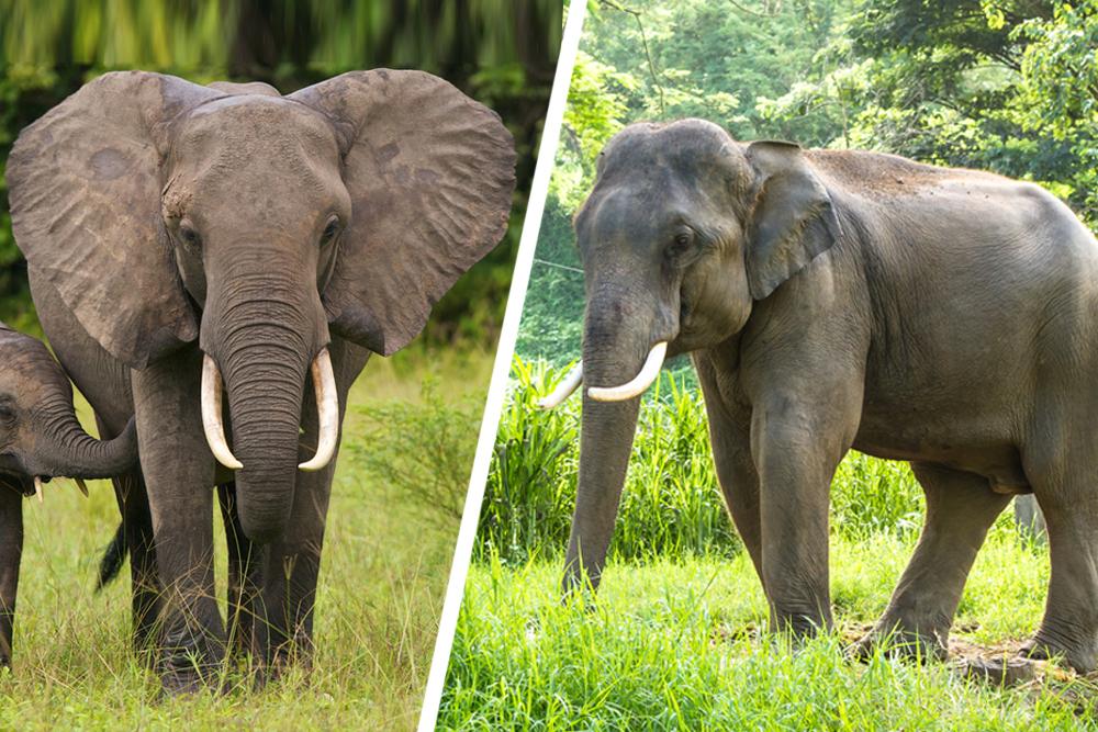 African elephant & Asian elephant