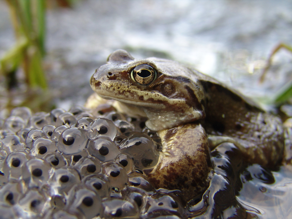 Common frog guarding eggs(BranoMolnar)S