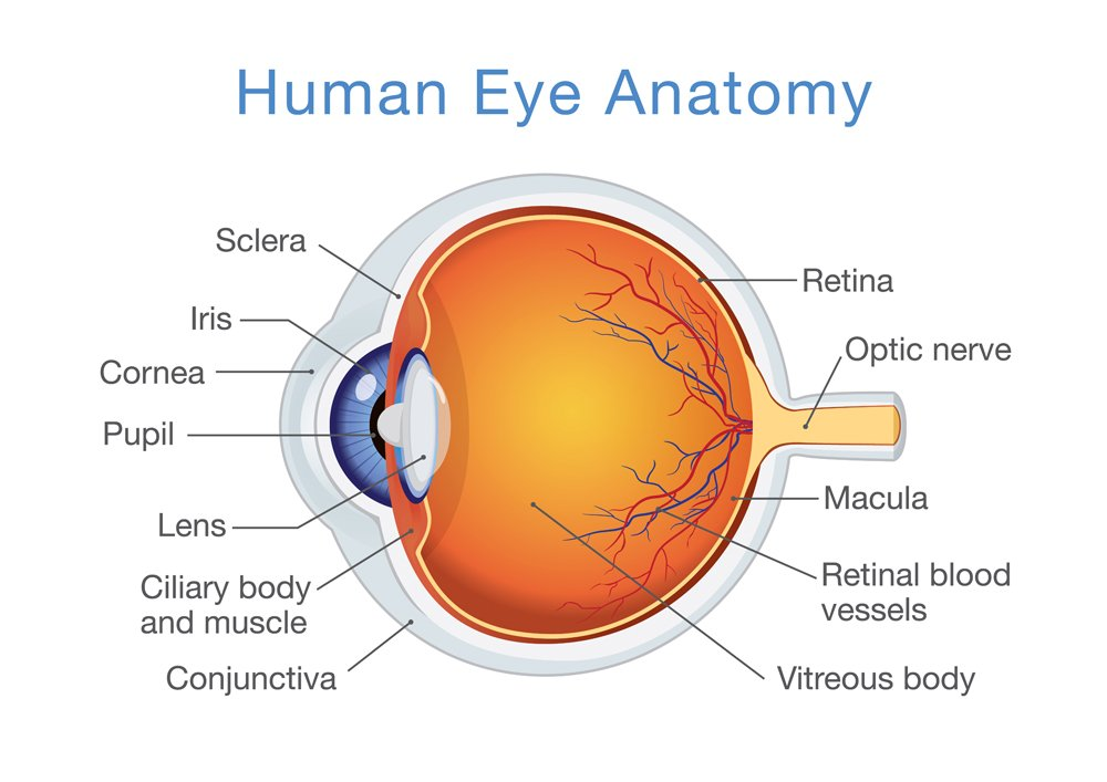 Components of human eye(solar22)s