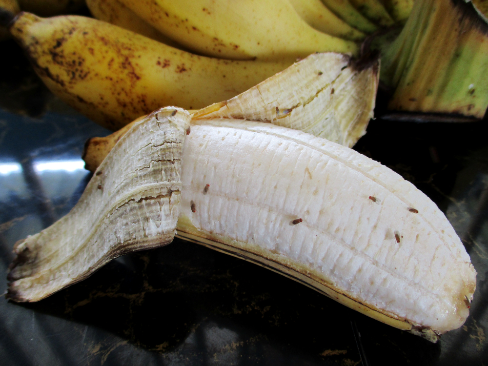 Drosophila on ripe banana in the kitchen are it contagion come to man(SUPAPORNKH)s