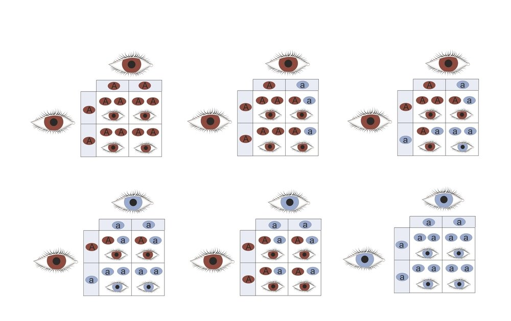 Genetic eye color inheritance of brown and blue eyes(Soleil Nordic)s