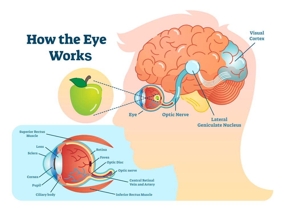 How eye work medical illustration, eye - brain diagram, eye structure and connection with brains(VectorMine)s