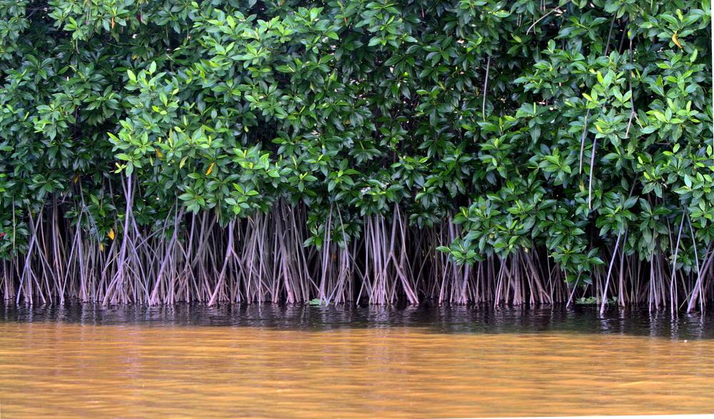 Mangrove Forest( Oliver Osvald)s