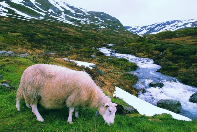 Sheep in tundra biome landscape in Norway(Tupungato)s