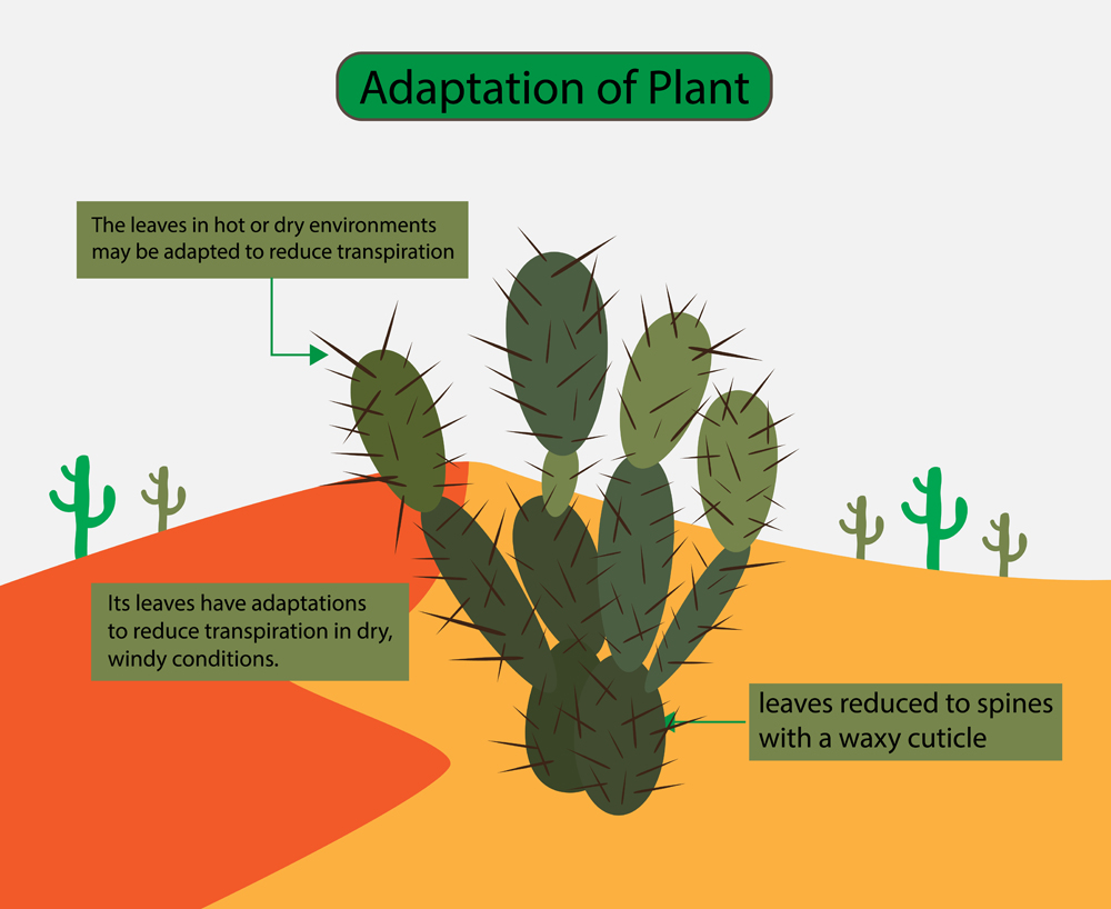 The leaves in hot or dry environments may be adapted to reduce transpiration, Desert plants(Nasky)s