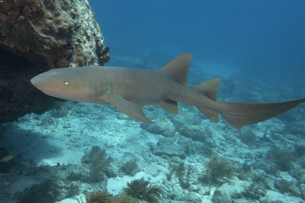 Underwater Nurse Shark in the Florida Keys(Andrew Jalbert)s