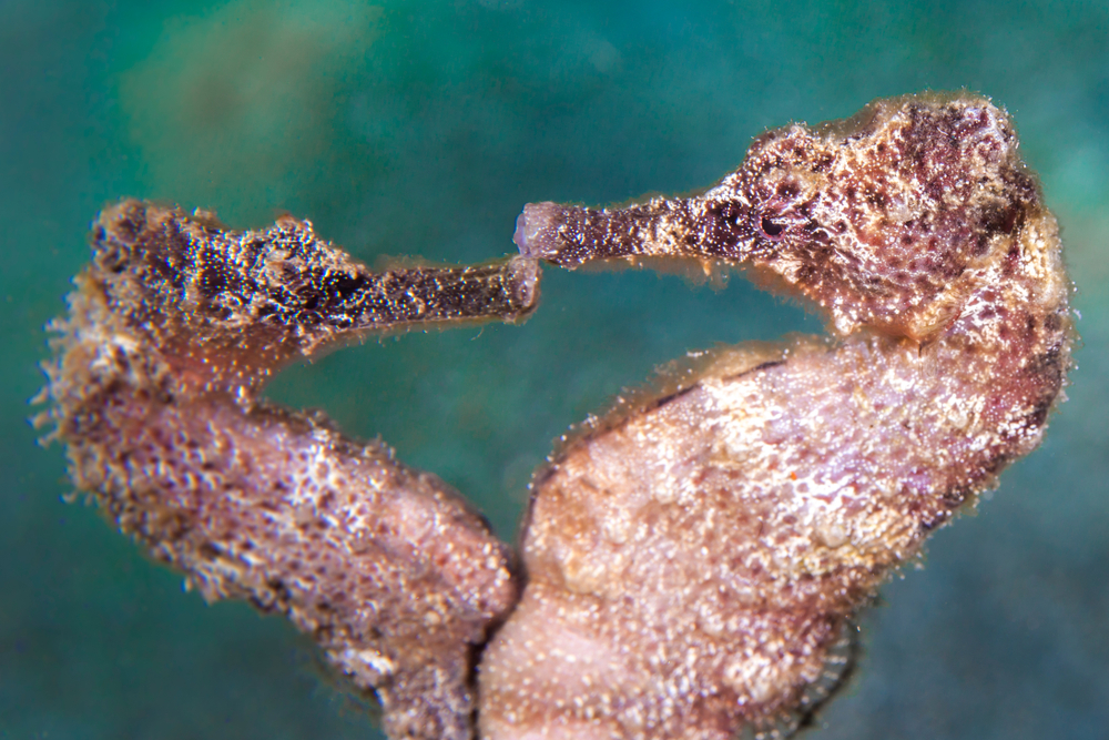 dancing Sea Horse in the Caribbean Sea at scuba dive around Curacao(NaturePicsFilms)S