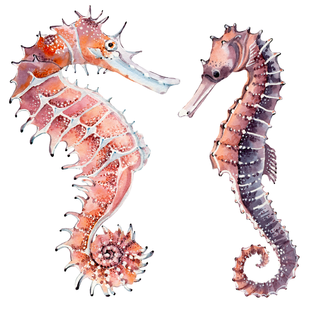 hand drawn watercolor seahorse(Lemaris)S