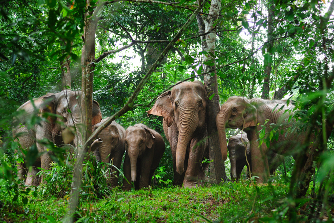 wild elephants in the jungle of Thailand( Taned Suparpornhemin)S