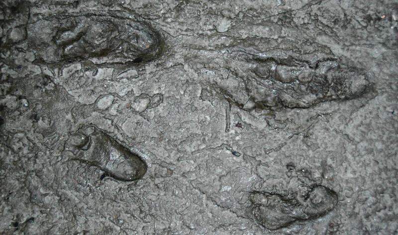 Australopithecus afarensis fossil hominid footprints