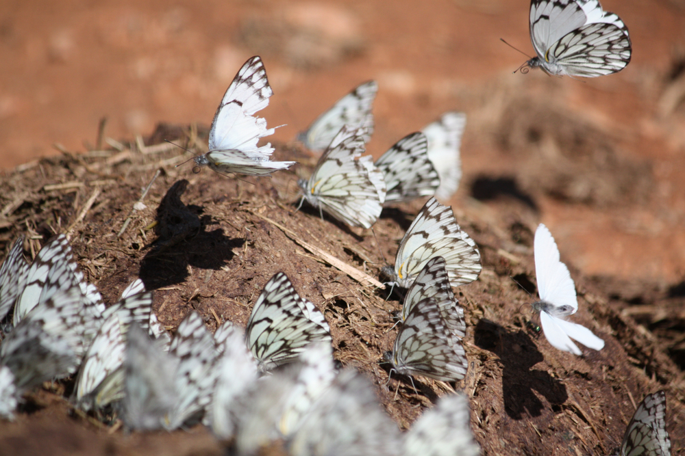 Butterflies congregating on elephant dung(Joris Wiersinga)s