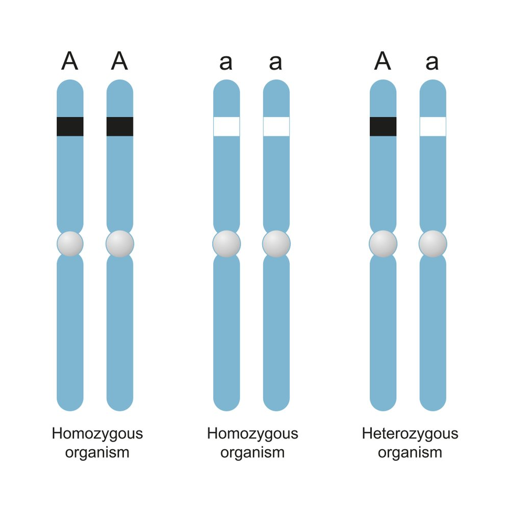 Difference Between Homozygous and Heterozygous(Aldona Griskeviciene)s