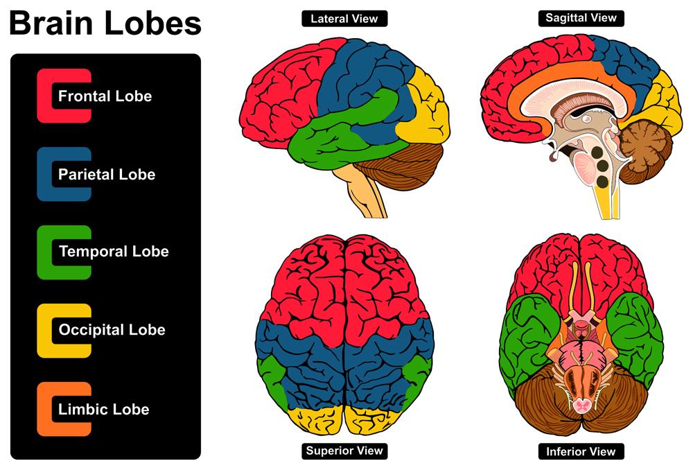 Human Brain Anatomy(udaix)S