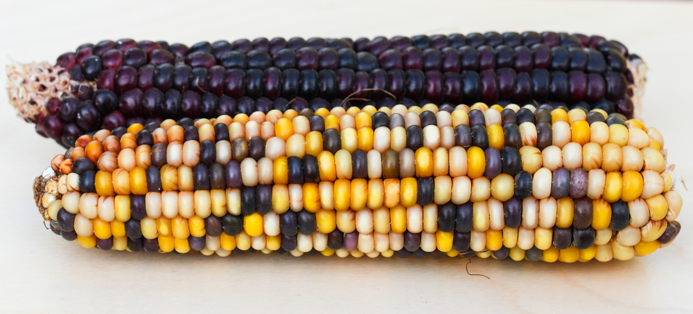 Indian corn purple and colorful (Zea mays), Maize(of-fr)S