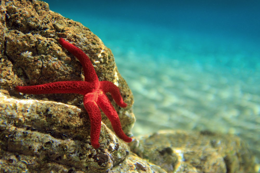 Most beautiful mediterranean sea star underwater(Vojce)s