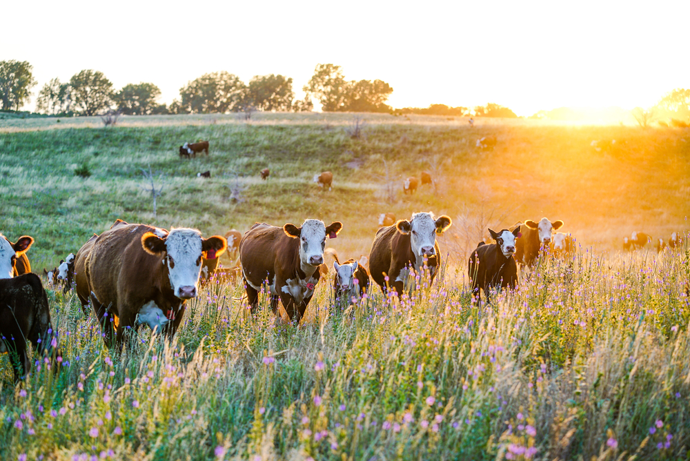 Nebraska Hereford Cattle at Sunset(Dani O'Brien)s
