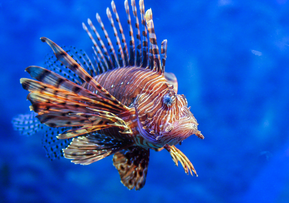 Red lionfish(dimakig)S