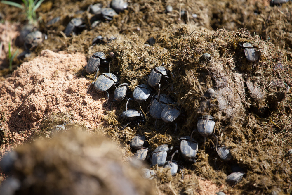 South African dung beetles(Emile E Wendling)s