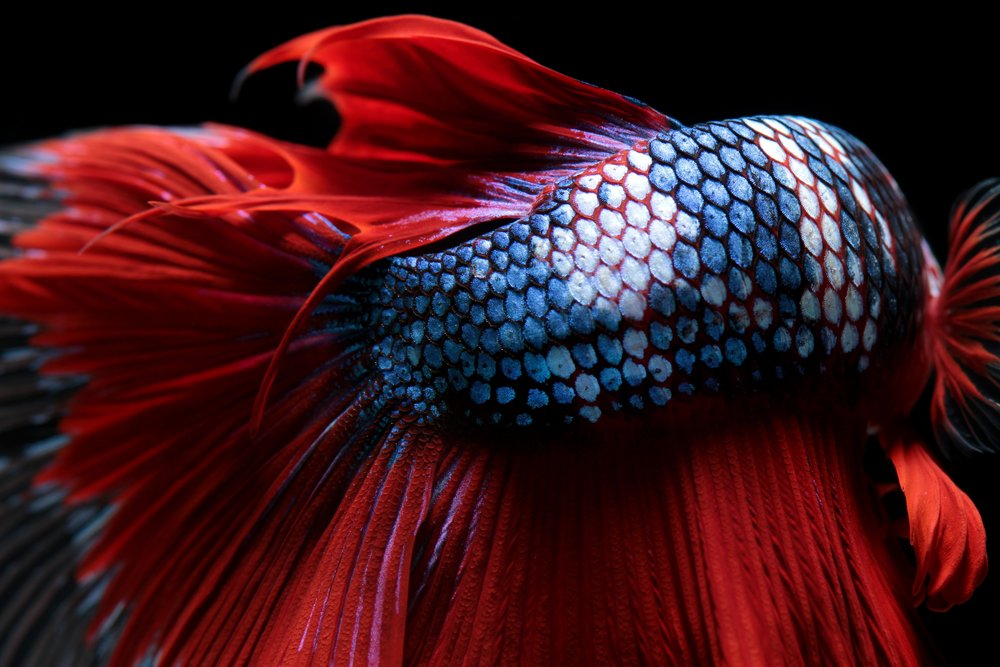 Texture of tail siamese fighting fish(Napat)s