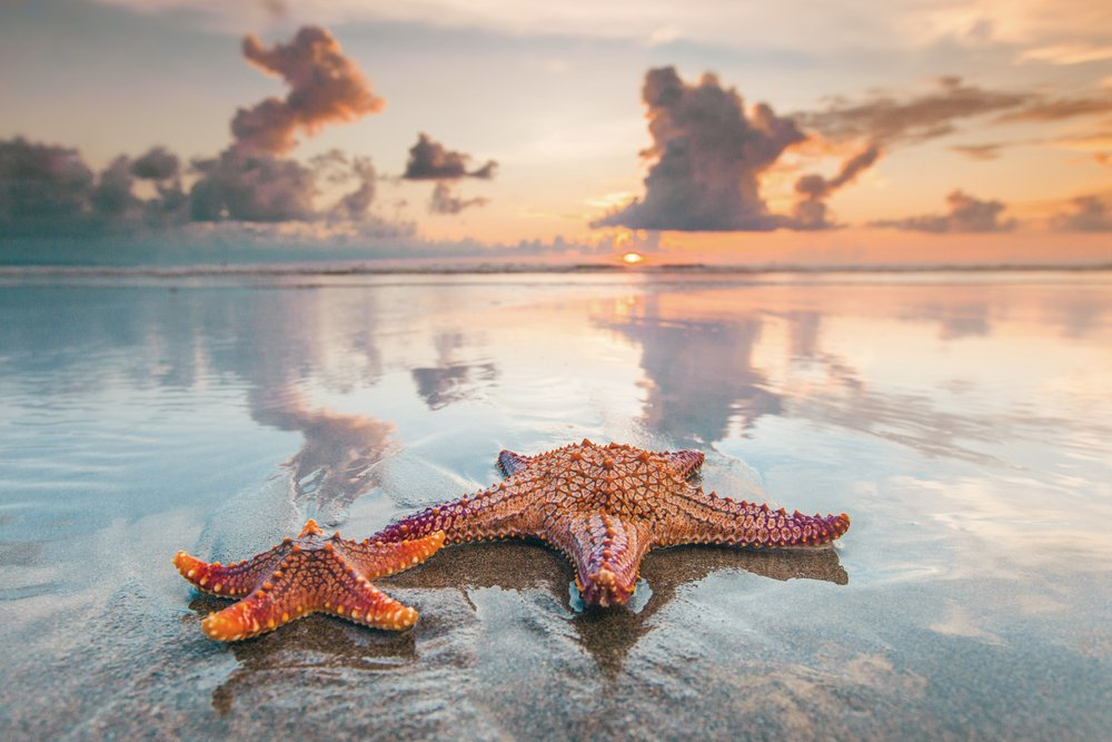 Two starfish on sea beach at sunset(Yellowj)S