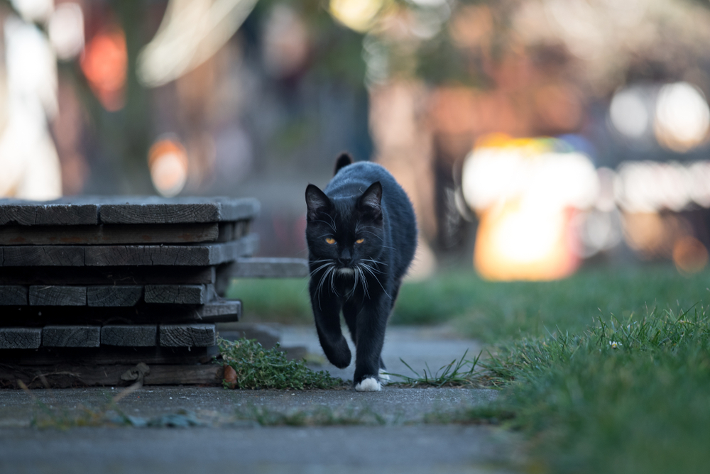 Young black cat goes to the street(DavidTB)s