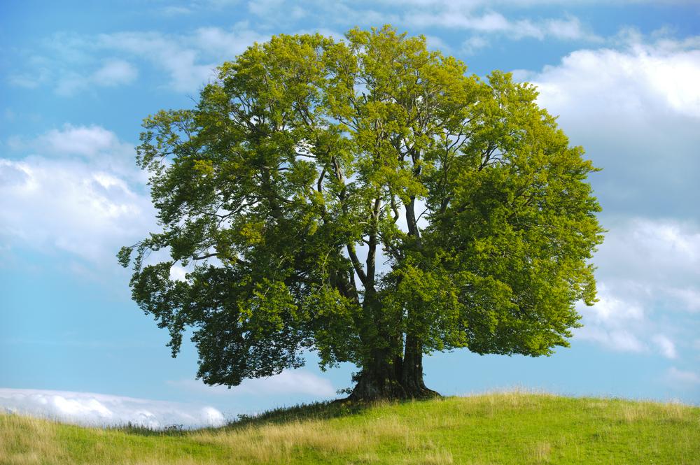 big single beech tree(Wolfgang Filser)s