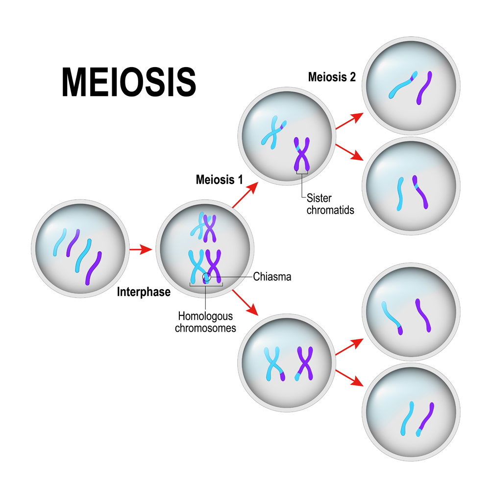 meiosis(Designua)S