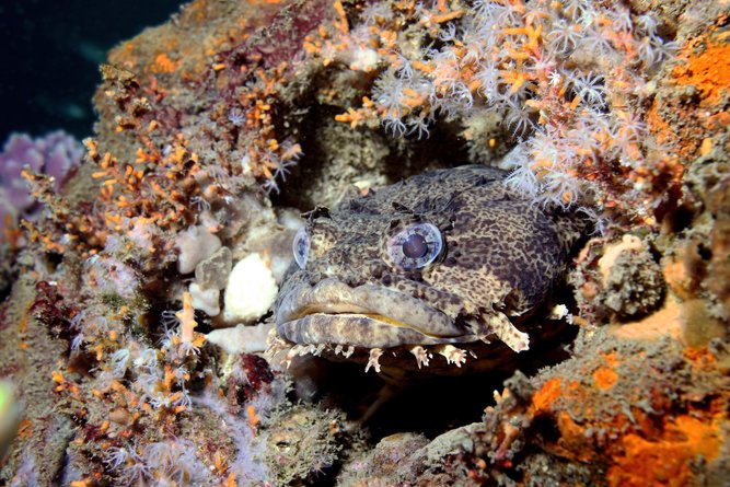 perfectly camouflaged Toasdfish sits within the multitudes of sealife that inhabit an old shipwreck(Joe Quinn)s