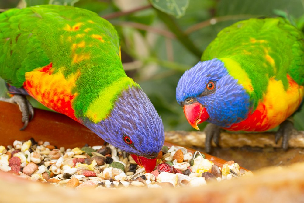 two lorri parrots eating food close up(Neirfy)S