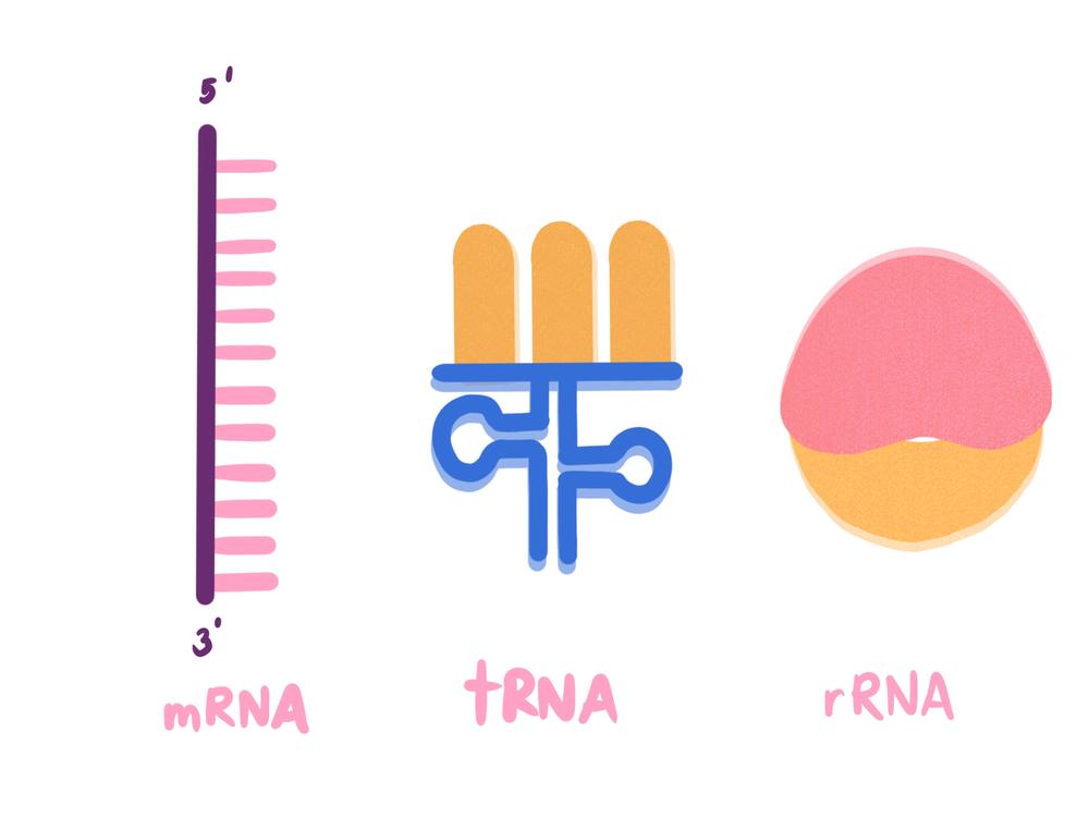 type of RNA, mRNA, tRNA, rRNA, messenger RNA, transfer RNA, ribosomal RNA(TATLE)S