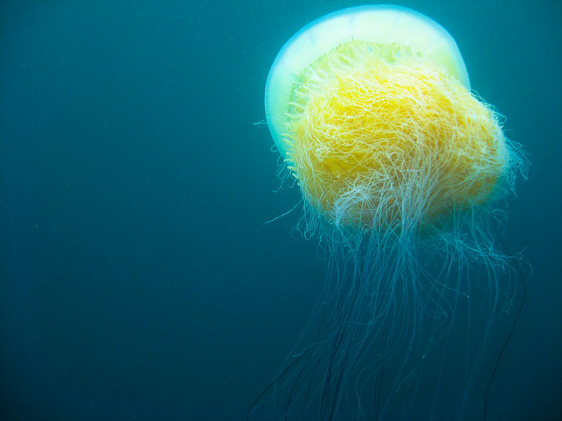the largest jellyfish, the Nomura's jellyfish.
