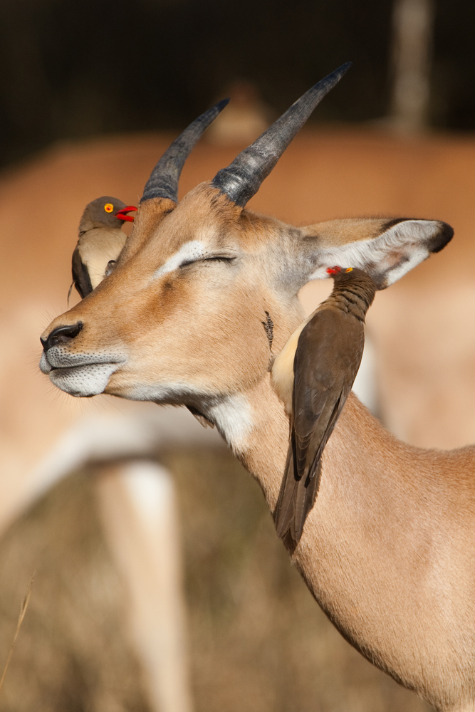 A young impala ram with two red-billed oxpeckers on its head(Villiers Steyn)S