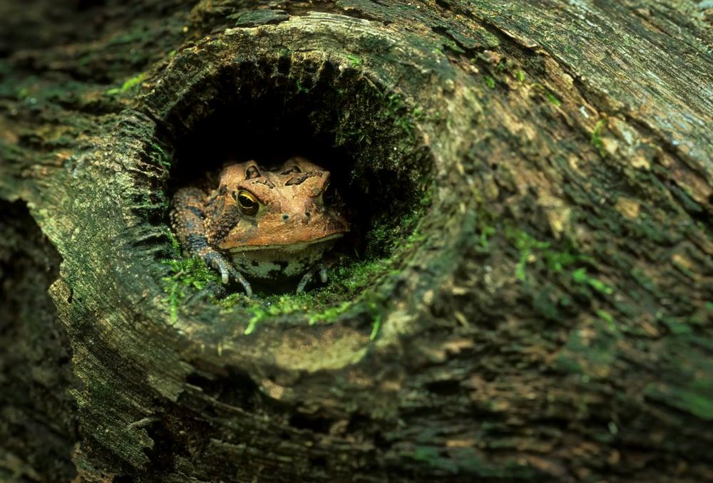 American toad(Gerry Bishop)s