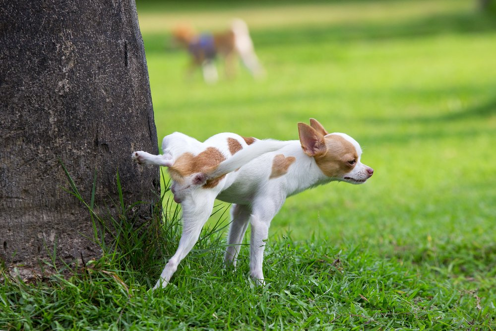 Cute small dog peeing on a tree in an park(Sukpaiboonwat)s