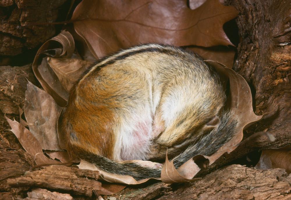 Eastern Chipmunk hibernating (Tamias striatus)(Breck P. Kent)s