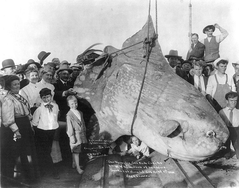 Enormous Sunfish
