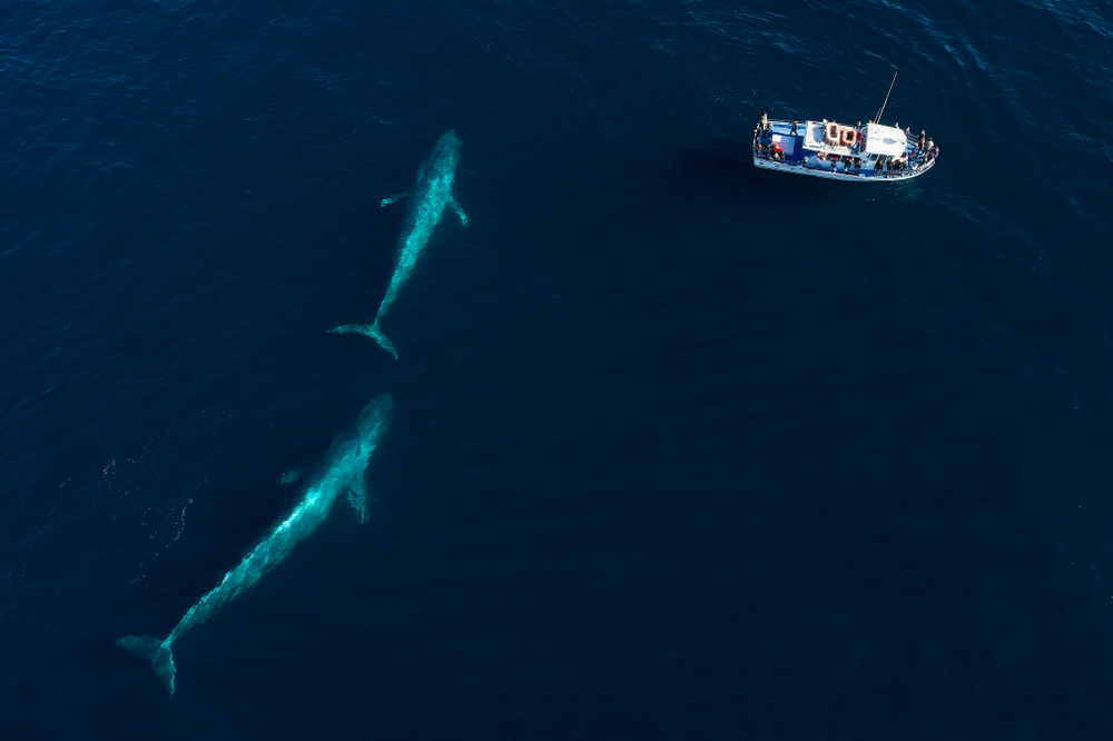 From an aerial view, a pair of blue whales swims under the surface in Monterey Bay(Chase Dekker)S