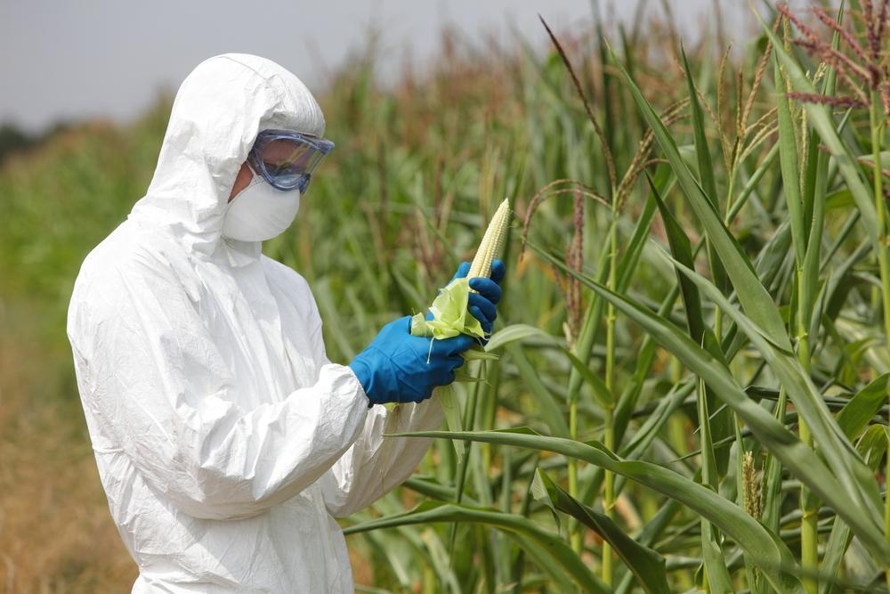 GMO,profesional in uniform goggles,mask and gloves examining corn cob on field(Marcin Balcerzak)S