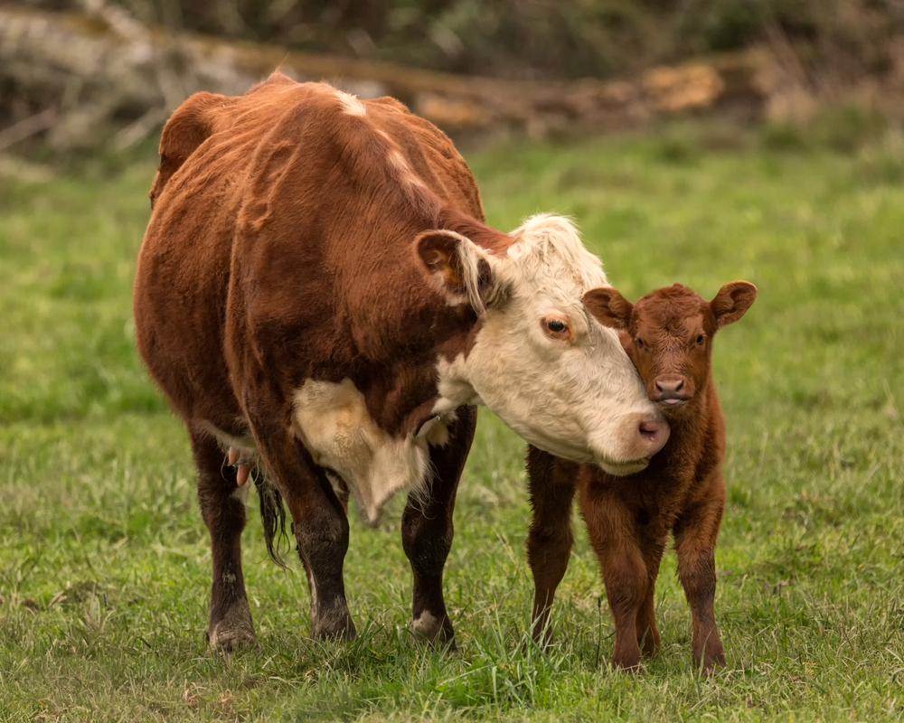 Momma Cow and Calf(Jeffrey Schwartz)s