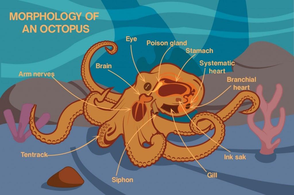 Morphology Of An Octopus Vector Cartoon Design(Jayjune69)S