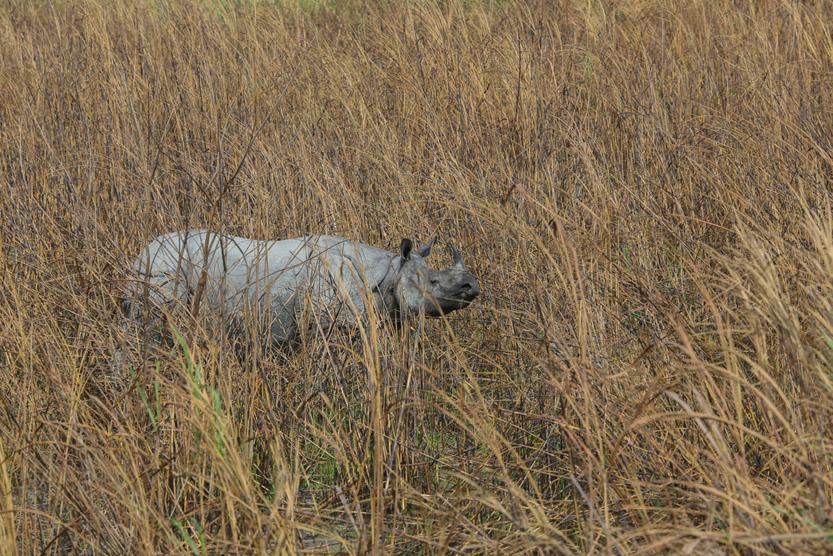 One Horned Rhino grazing in the grassland of Kaziranga National Park (India)( Sandipan Dutta Images)s