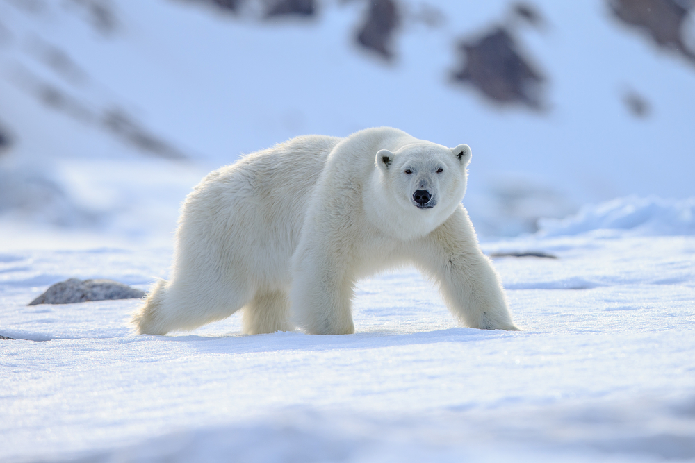 Polar Bear (Ursus maritimus)(Vaclav Sebek)s