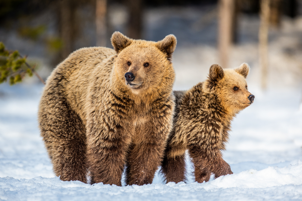 She-Bear and bear cubs on the snow(Sergey Uryadnikov)S