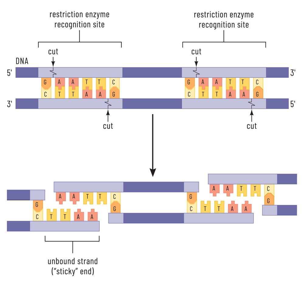 Telomerase is an enzyme that lengthens telomeres by adding on repeating sequences of DNA(Emre Terim)s