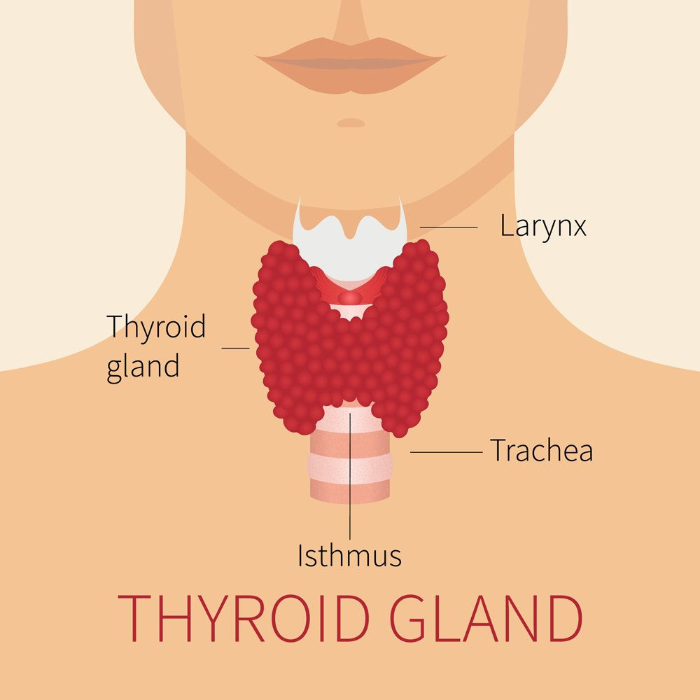 Thyroid gland and trachea scheme shown on a silhouette of a man(art4stock)s
