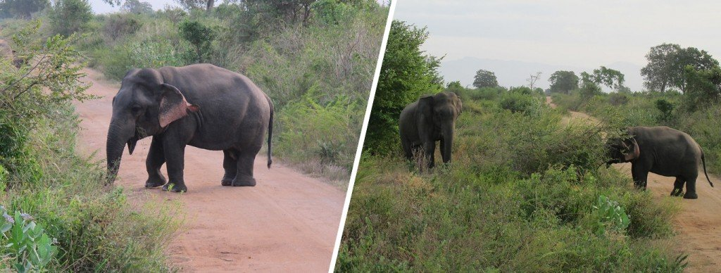 (L) Dwarf elephant (R) Dwarf elephant grazing alongside a regular sized elephant