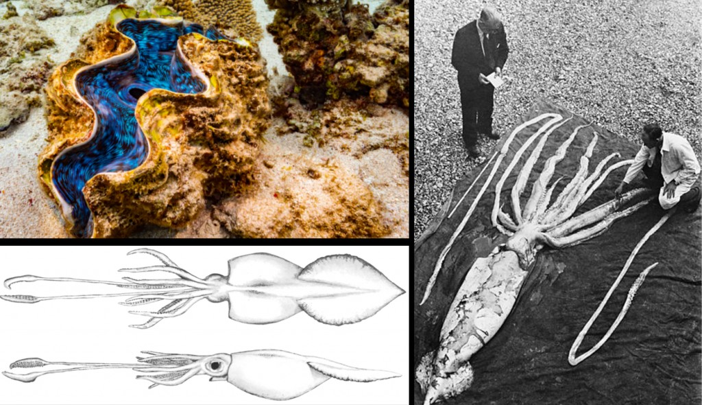 The giant clam, the colossal squid and the giant squid, the honorary mentions of our list.
